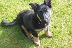 german shepherd dog(0.0), tervuren(0.0), saarloos wolfdog(0.0), east-european shepherd(0.0), shiloh shepherd dog(0.0), dog breed(1.0), animal(1.0), dog(1.0), pet(1.0), bohemian shepherd(1.0), wolfdog(1.0), carnivoran(1.0),