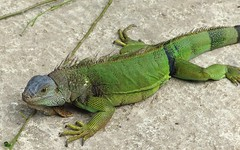 agama, animal, iguania, green lizard, reptile, lizard, green, fauna, african chameleon, iguana, scaled reptile, wildlife,