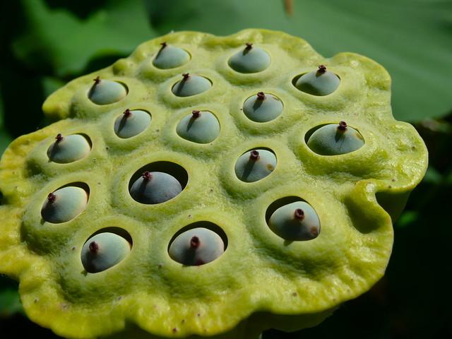 how to break lotus seeds