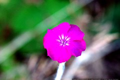 macro pink flower seen in luscher farm    MG 9056