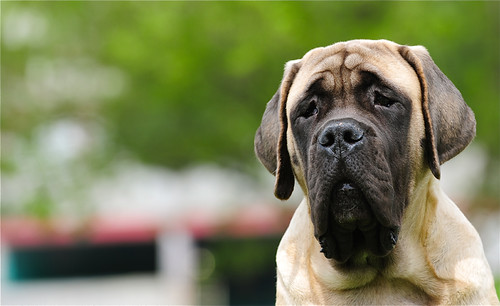 Pluto my English mastiff ... (four and a half months)
