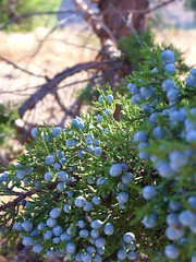 evergreen, shrub, berry, branch, tree, plant, nature, flora, green, prunus spinosa,