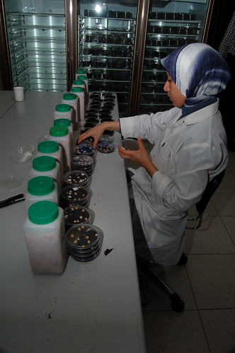 ICARDA Genebank Employee Working on Seed Collections