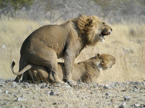 Mating Lion, Etosha National Park, Namibia