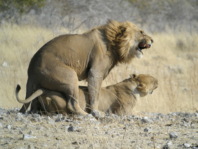 Mating Lion, Etosha National Park, Namibia | Flickr - Photo Sharing!