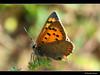 Small Copper - Kleiner Feuerfalter - Lycaena phlaeas