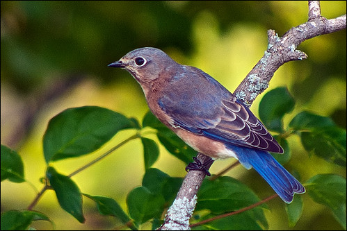 blue bird birdwatcher easternbluebird sialiasialis featheryfriday