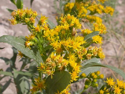 Goldenrods (Genus Solidago) · iNaturalist.org Solidago Canadensis Leaf