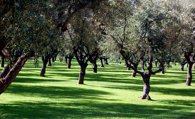 Olive Trees by cjette, on Flickr