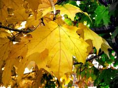Acer saccharum - Sugar Maple fall leaves