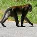Why did the monkey cross the road?