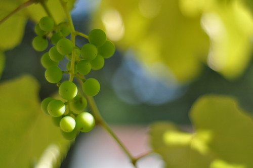Sunripening grapes