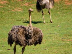 emu, animal, prairie, ostrich, flightless bird, fauna, casuariiformes, beak, bird, ratite, wildlife,