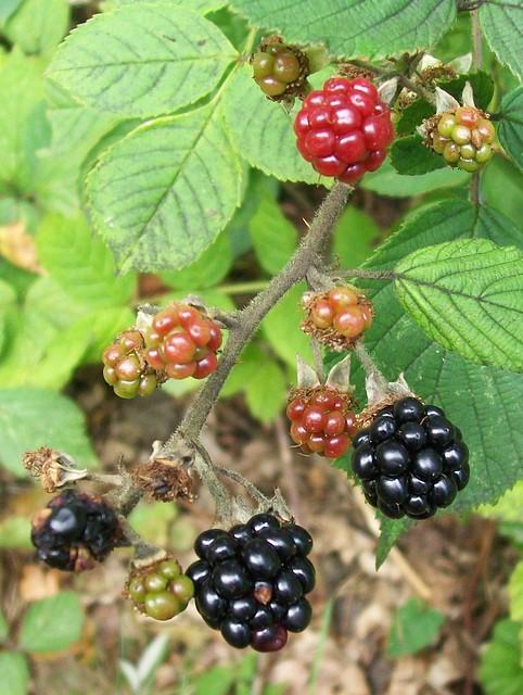 Bramble / blackberries (Rubus fruticosus)