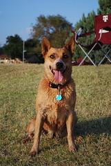 dog breed, animal, dog, pet, mammal, nova scotia duck tolling retriever,