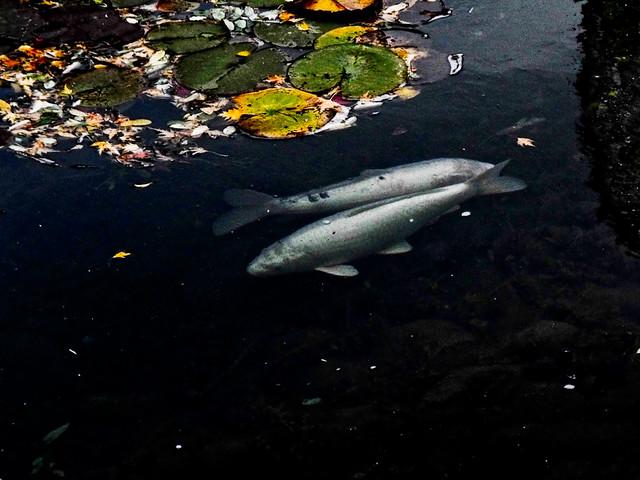 4019673615 54bc04f71f for Koi fish pond kelowna