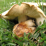 St George's Mushroom