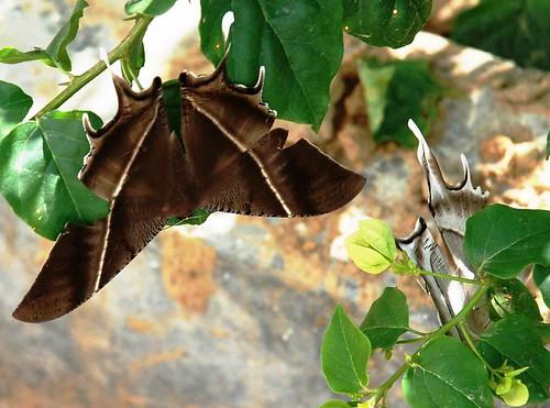 moth aizawl mizoram mzu greysunsetmoth northeastner