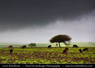 Oman - Cows in Stormy Greenness of Salalah Mountains
