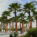 Fan Palms - Photo (c) Viveros Alegre, some rights reserved (CC BY-NC-SA)