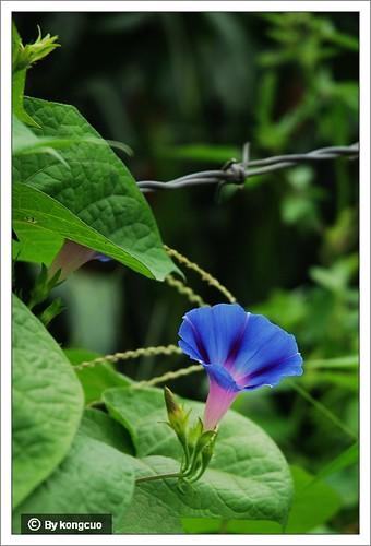 旋花科-牵牛花属-左旋还是右旋-青色
