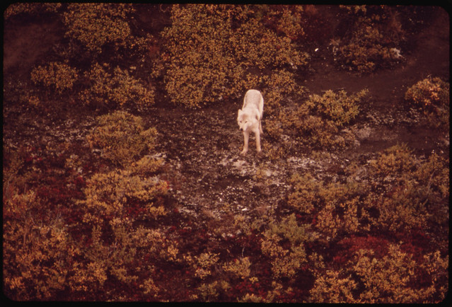 White Female Wolf in the Atigun Valley...08/1973