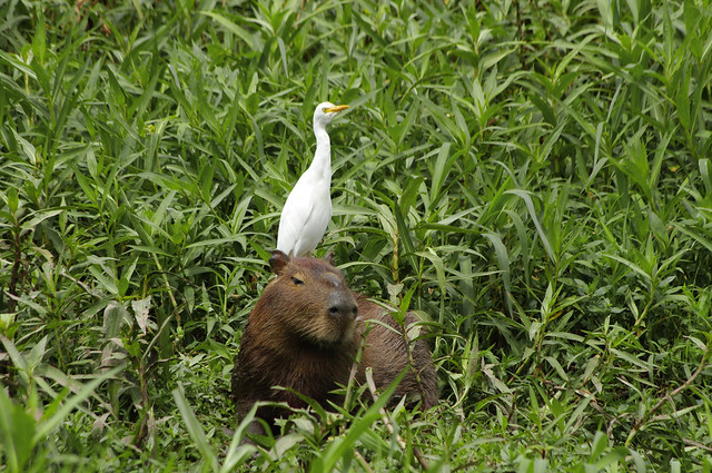 North Pantanal - Capybara and Cattle Egret