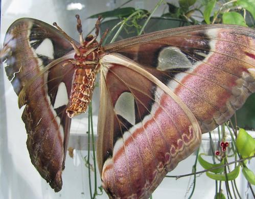 Hercules Emperor moth