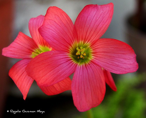 Flores de Oxalis Quadrangularis