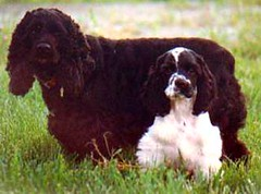 miniature poodle, dog breed, animal, sussex spaniel, dog, schnoodle, pet, lagotto romagnolo, irish water spaniel, drentse patrijshond, russian spaniel, english cocker spaniel, spaniel, cockapoo, german spaniel, french spaniel, english springer spaniel, cavalier king charles spaniel, clumber spaniel, american water spaniel, american cocker spaniel, carnivoran,
