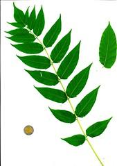Ailanthus altissima Blatt Oberseite x Katrin Schneider x