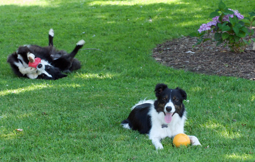 border collies in the grass