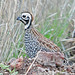 Montezuma Quail - Photo (c) Jerry Oldenettel, some rights reserved (CC BY-NC-SA)