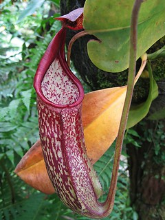 Monkey Cups  (Nepenthes Maxima)