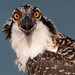 Osprey Chick (#3) by Nikographer [Jon]