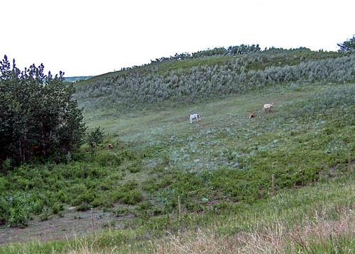 canada color colour green animal farm ab pony alberta prairie agriculture 2009 2000s canadagood flagstaffcounty