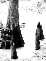 Wading Bird on Cypress Pond, Jesse H. Jones Park & Nature Center, Humble, Texas 0725090826BW