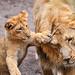 «Hey, wait dad!» by Tambako the Jaguar