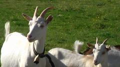 animal, antelope, mammal, horn, goats, domestic goat, fauna,