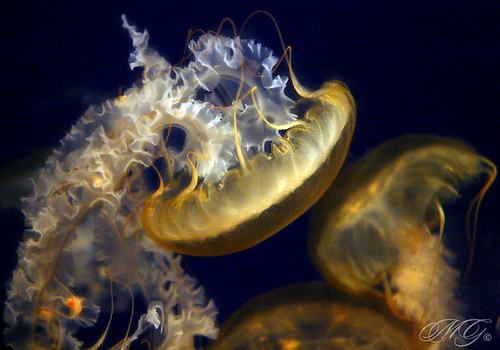 Jellies in the Dark