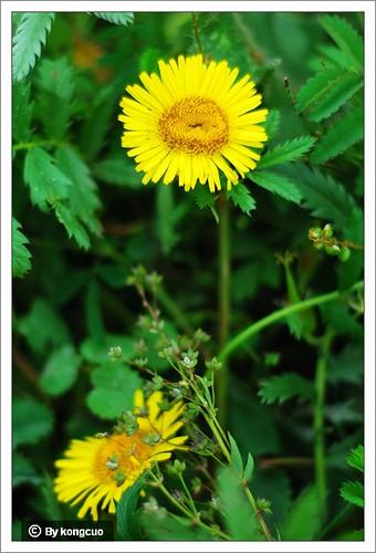 内蒙古植物照片-菊科旋覆花属旋覆花