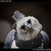 Harpy eagle, Belize Zoo (6)