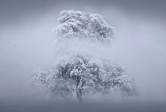 Trees in the mist and fog