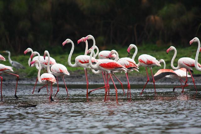 Lake Naivasha Flamingos