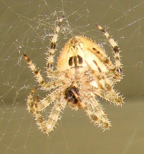 Pictures of Cat Face Spiders http://www.flickr.com/photos/snakess/3996701015/