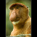 Male Proboscis Monkey - Bako National Park / Borneo Island - Sarawak in Malaysia - South East Asia