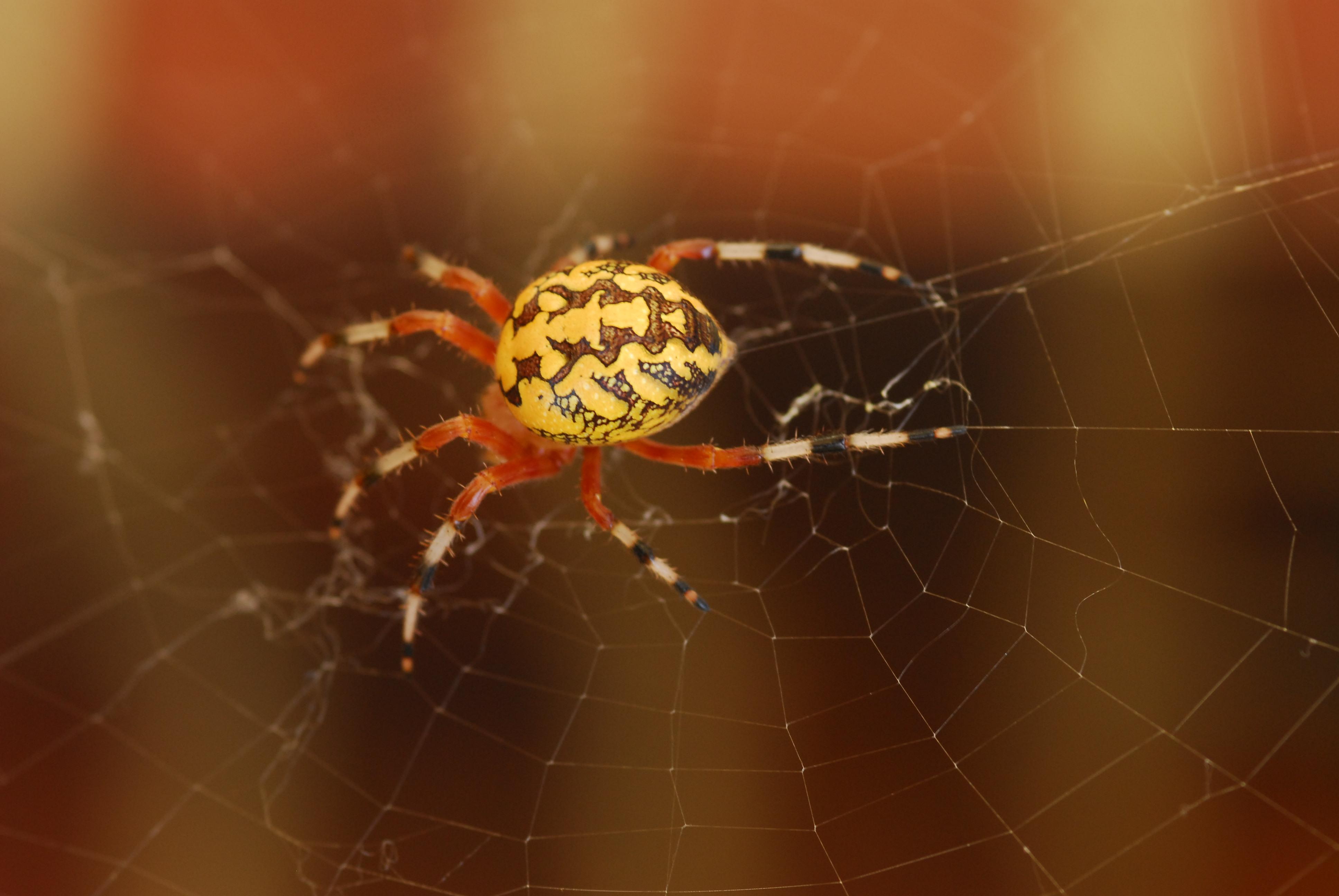 What is That Big Orange Spider? - The Infinite Spider Large orange spider pictures