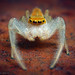 White-jawed Jumping Spider - Photo (c) Thomas Shahan, some rights reserved (CC BY-NC-ND)