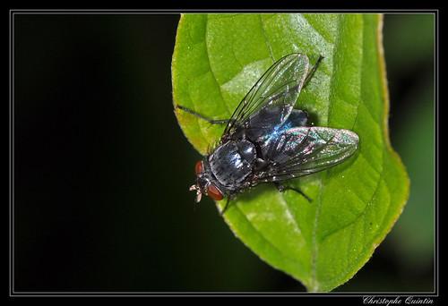 Mouche bleue (Calliphora vicina)