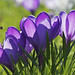 crocus purple with bee